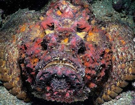 stonefish-purple-red
